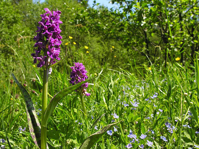Heath Spotted-orchid  - photos, Dactylorhiza maculata