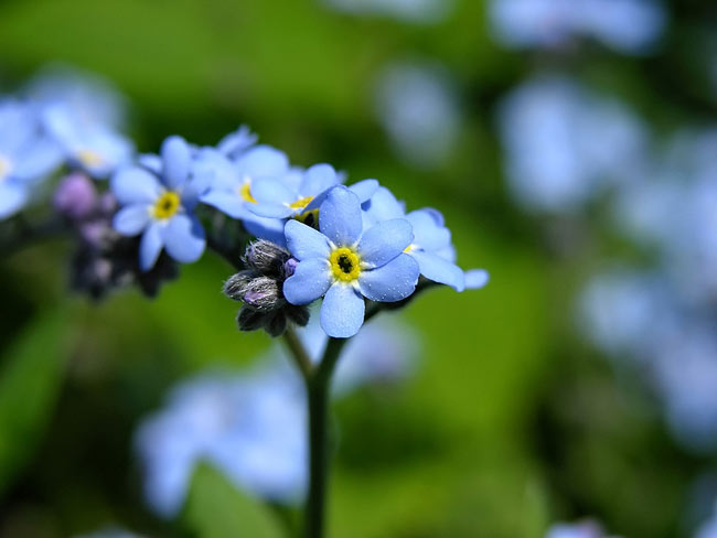 Forget-me-not - photos, Myosotis