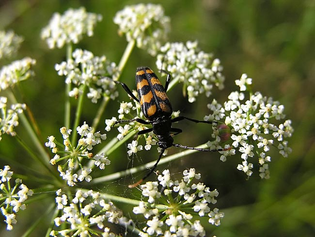 Leptura quadrifasciata - photos