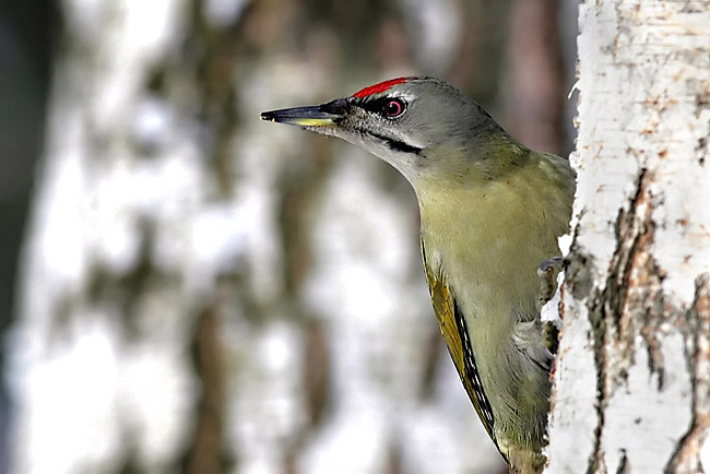 Grey-headed Woodpecker - photos, Picus canus