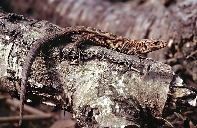 Viviparous lizard - photos
