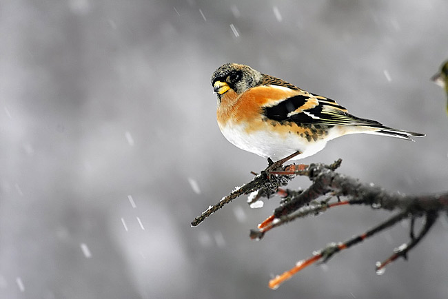 Chaffinch  - pictures
