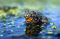 European Fire-bellied Toad  - pictures