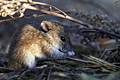 Striped Field Mouse  - pictures