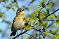 Chiffchaff - photos, Phylloscopus collybita