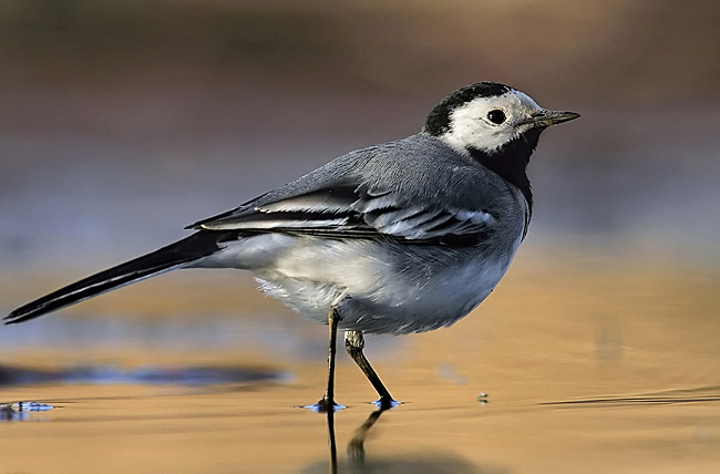 White Wagtail  - pictures