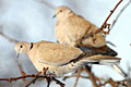 Collared Dove  - pictures, Streptopelia decaocto