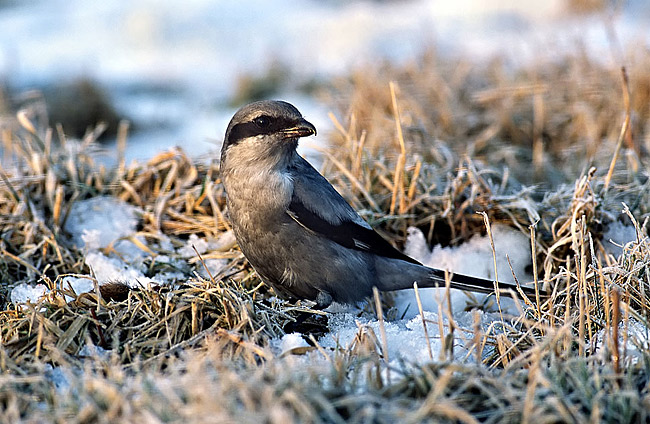Great Grey Shrike  - pictures