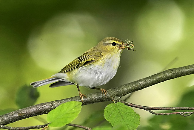 Wood Warbler - photos, Phylloscopus sibilatrix