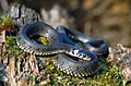 Grass Snake - photos, Natrix natrix