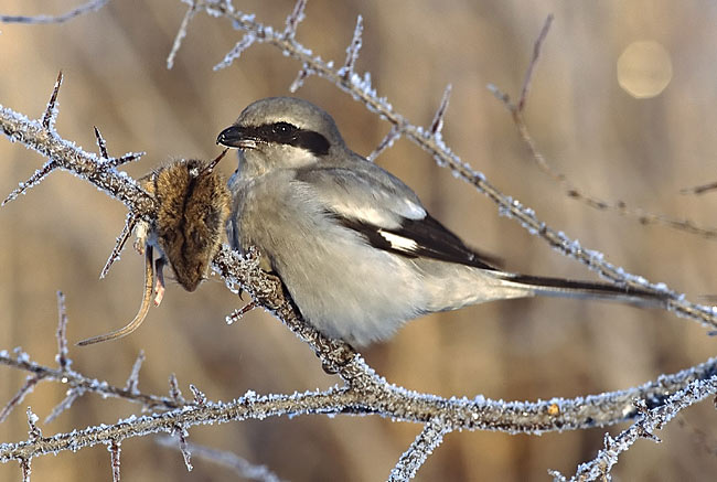 Photos - Great Grey Shrike