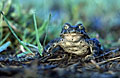 Photos - Green Toad