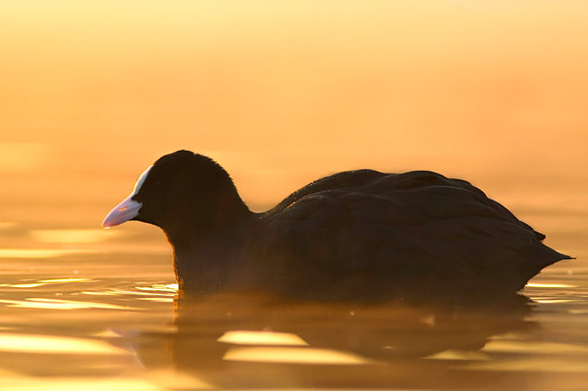 Coot - photo stock