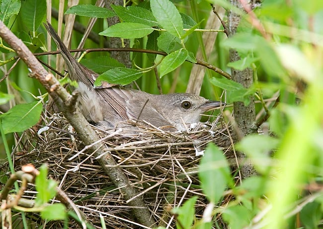 Barred Warbler  - pictures