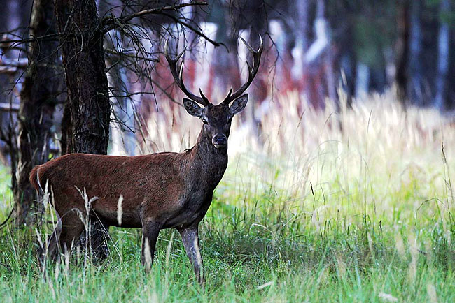 Red Deer - nature photography