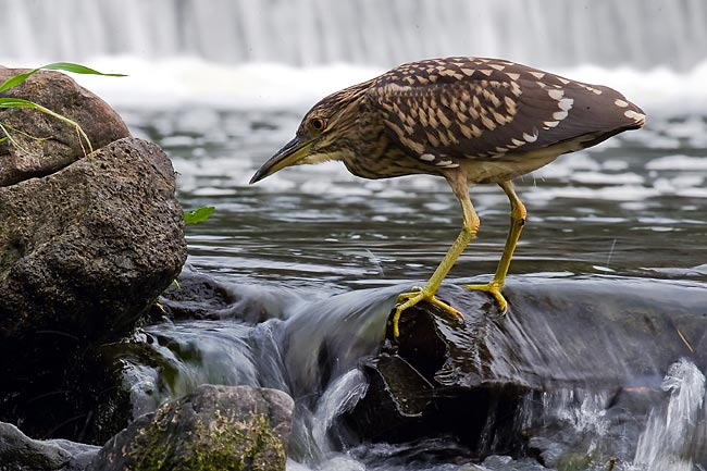 Black-crowned Night Heron - nature photography