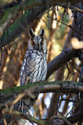 Long-eared Owl  - pictures