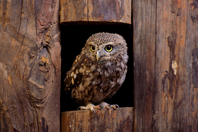 Little Owl - photography