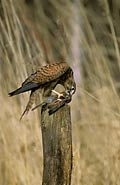 Common Kestrel  - pictures