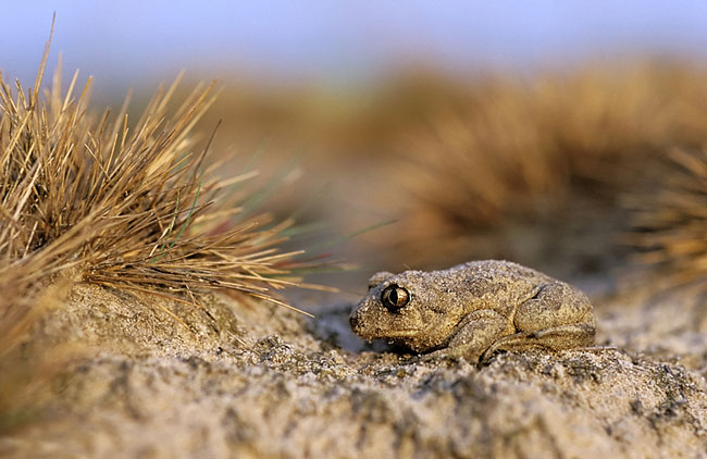Common Spadefoot - photos, Pelobates fuscus