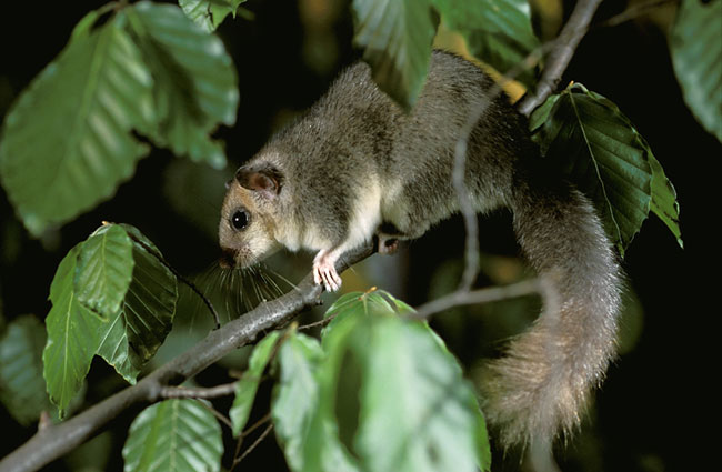 Edible dormouse - photos, Glis glis