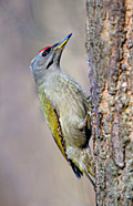 Photos - Grey-headed Woodpecker