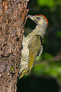 Green Woodpecker  - pictures