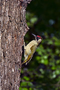 Green Woodpecker - photography