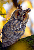 Long-eared Owl - image gallery