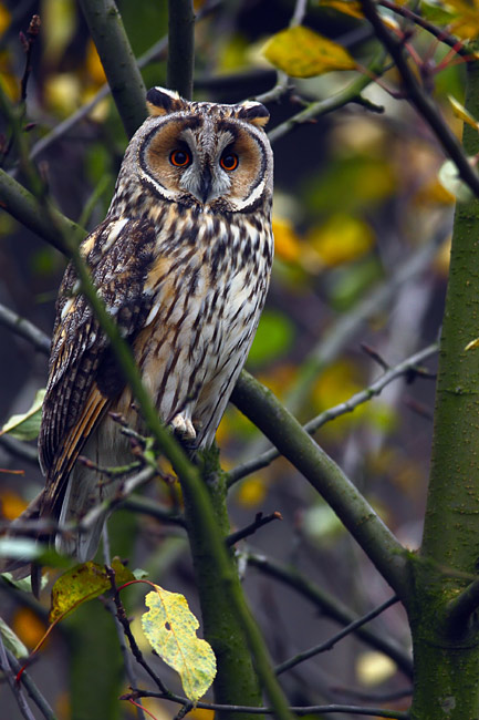 nature pictures - Long-eared Owl