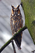 species - Long-eared Owl