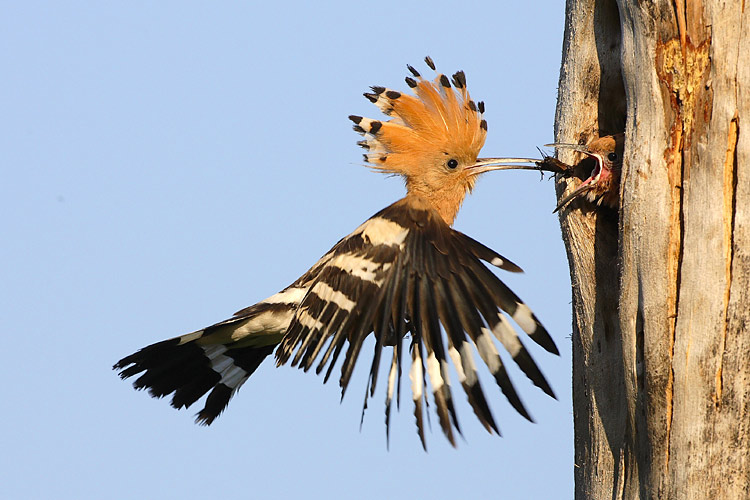 nature pictures - Hoopoe