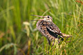 Great Snipe - photos