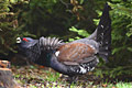 Capercaillie  - pictures