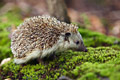 Hedgehog - photography