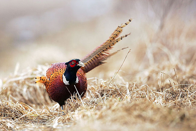 Pheasant - photos