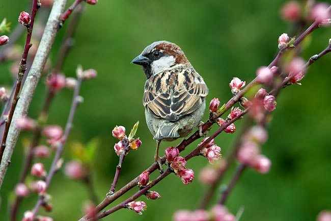 House Sparrow  - pictures