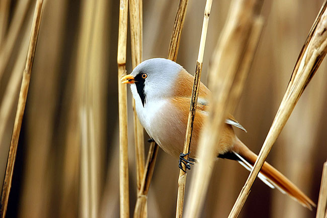 Bearded Reedling - photos, Panurus biarmicus