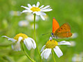 nature pictures - Scarce Copper