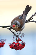 Fieldfare - photography