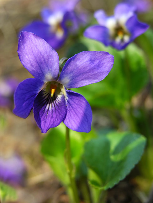 Sweet Violet - photos