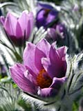 Pasque flower - photos, Pulsatilla vulgaris