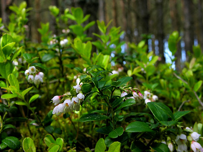 Lingonberry  - nature photography