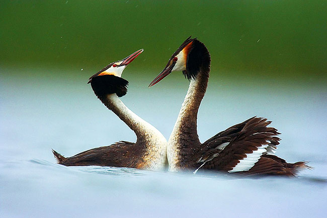 Great Crested Grebe - photos, Podiceps cristatus