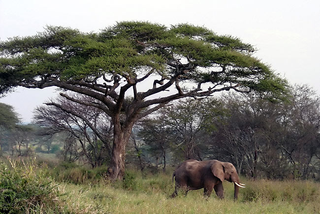 nature pictures - African Bush Elephant