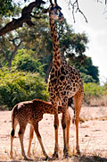 nature pictures - Giraffe