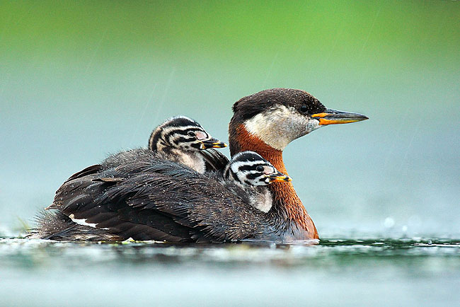 Red-necked Grebe   - pictures