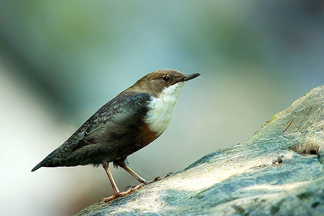 White-throated Dipper - photos, Cinclidae