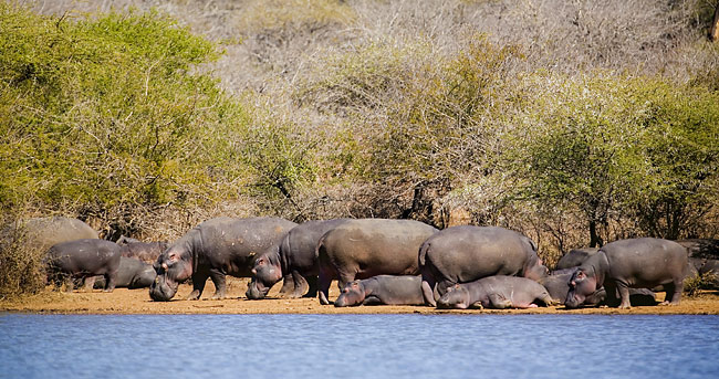 Hippos   - pictures