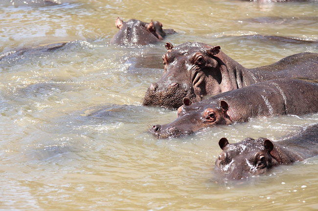 Hippo  - photo gallery